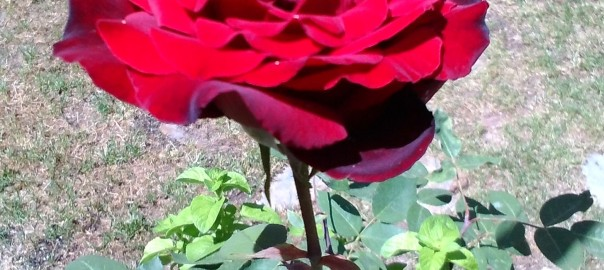 Rosa unica